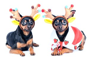 Two dogs in New Year clothes isolate