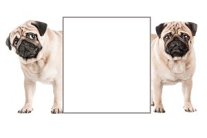 Two lovely pugs hold an empty paper