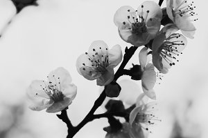 Flowers of an apricot tree