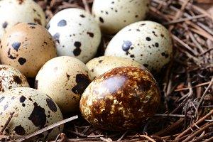 Quail Nest Closeup
