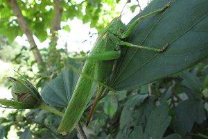 Grasshopper giganticus