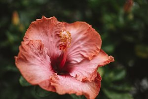 Stunning Hibiscus Flower Background