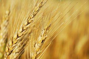 Wheat Eears