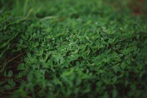 Green Clover Grass Background Photo