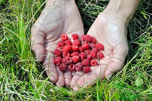 Berries of ripe red raspberry