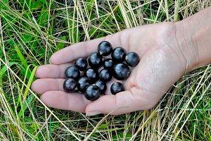 Berries of ripe black currant