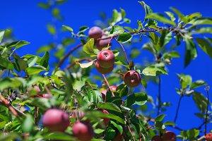 Organic grown red apple