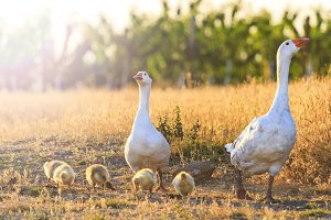domestic geese grazing around the