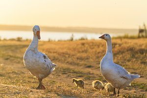 geese's family gently passes through