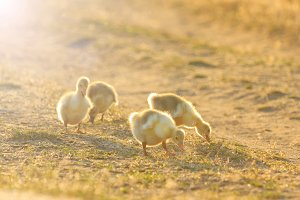 goslings grazing at sunset with