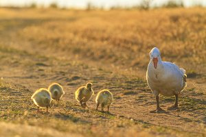 mother goose and goslings on a field