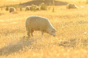 Sheep grazing in the golden rays of