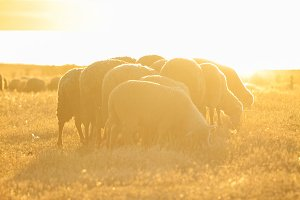 sheeps grazing at sunset in the warm