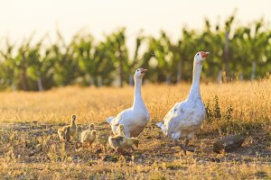 White geese family walking at sunset