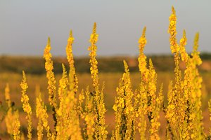 yellow field flowers at sunset
