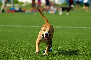 American Staffordshire Terrier dog o