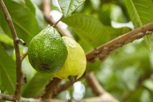 Organic Guava on tree