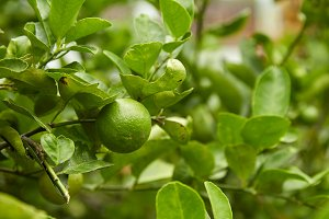 Limes on tree, close-up