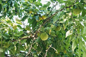 Green fruits of maclura on osage