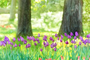 Field of many lilac tulips in park
