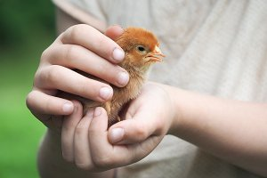 Baby's hands holding newborn chicken