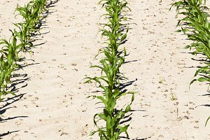 rows of green corn