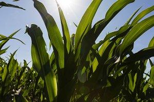 sun shining over corn