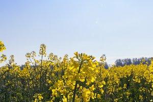 yellow rape flowers