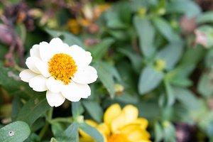 Daisy flowers bloom