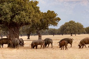 Iberian pigs grazing among the oaks
