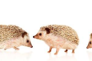 Nice pets. Brown hedgehogs