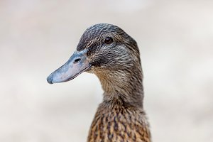 Portrait of a brown duck