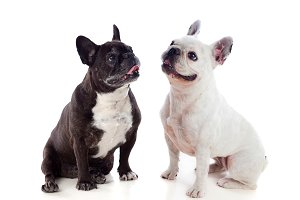 Portrait in Studio of cute bulldogs