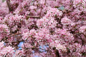 Pink blossom of cherry tree
