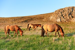 Herd of wild grazing horses