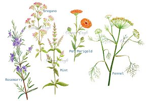 Watercolor Clipart Herb Flowers