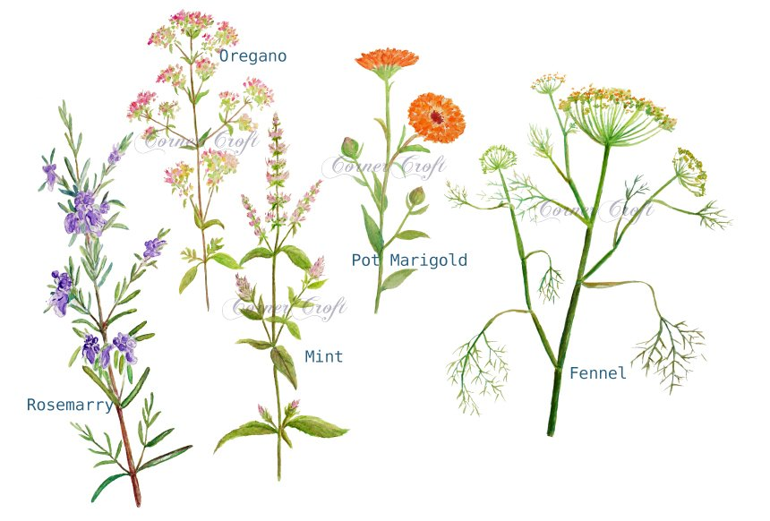 watercolor clipart herb flowers illustrations creative
