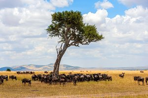 Wildebeest in National park of Afric