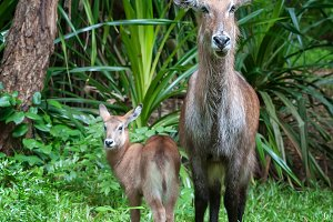 Waterbuck with baby in National park