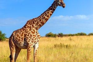 Giraffe in National park of Kenya