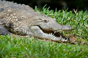 Crocodile in National park of Kenya,