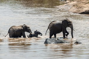 Elephant in water. National park of