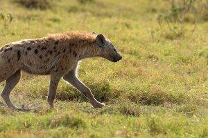 Spotted Hyena (Crocuta crocuta) in t