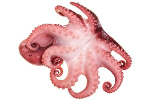 Small octopus isolated on white