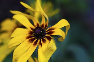 flowering buds Rudbeckia laciniata