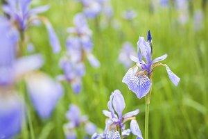 Close-up of Siberian Flag Irises