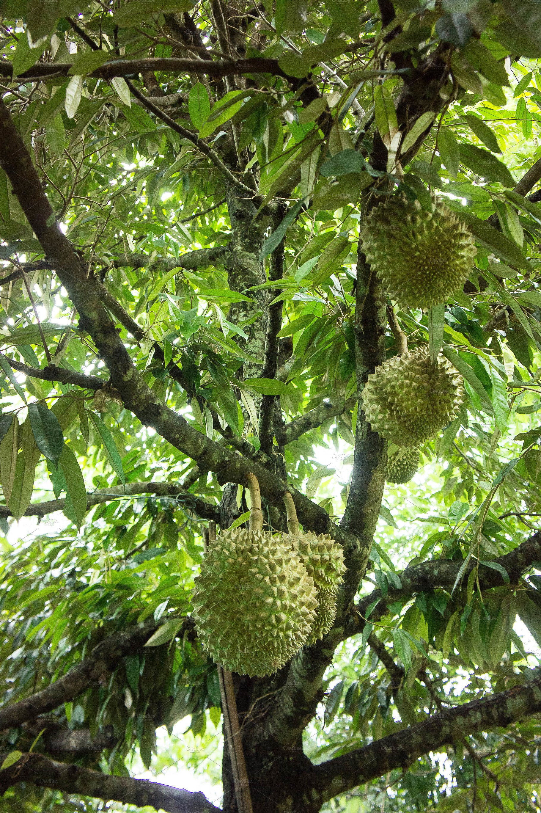 Durian Tree Organic Nature Photos Creative Market