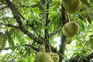 durian tree organic