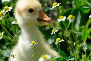 small yellow gosling in green grass