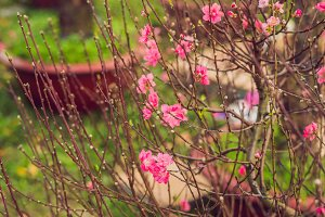 pink blooming trees in honor of the